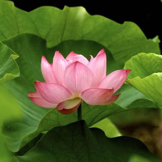 un fiore di loto rosa